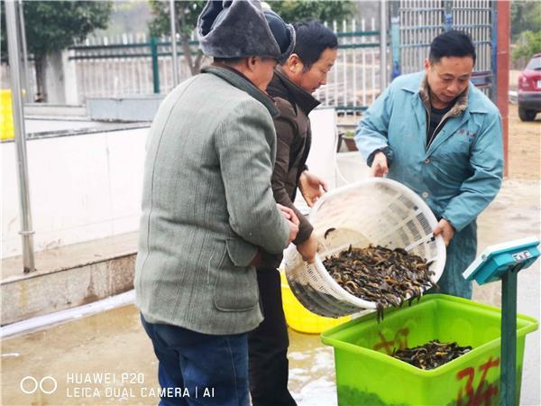 安徽舒城县:泥鳅特色养殖拓宽振兴乡村致富路